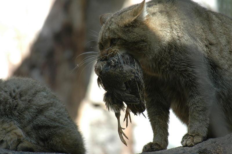 gatto selvatico...con cena