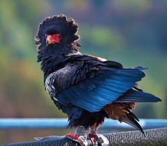 Gaukler-Greifvogel