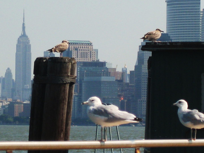 Gaviotas en Nueva York