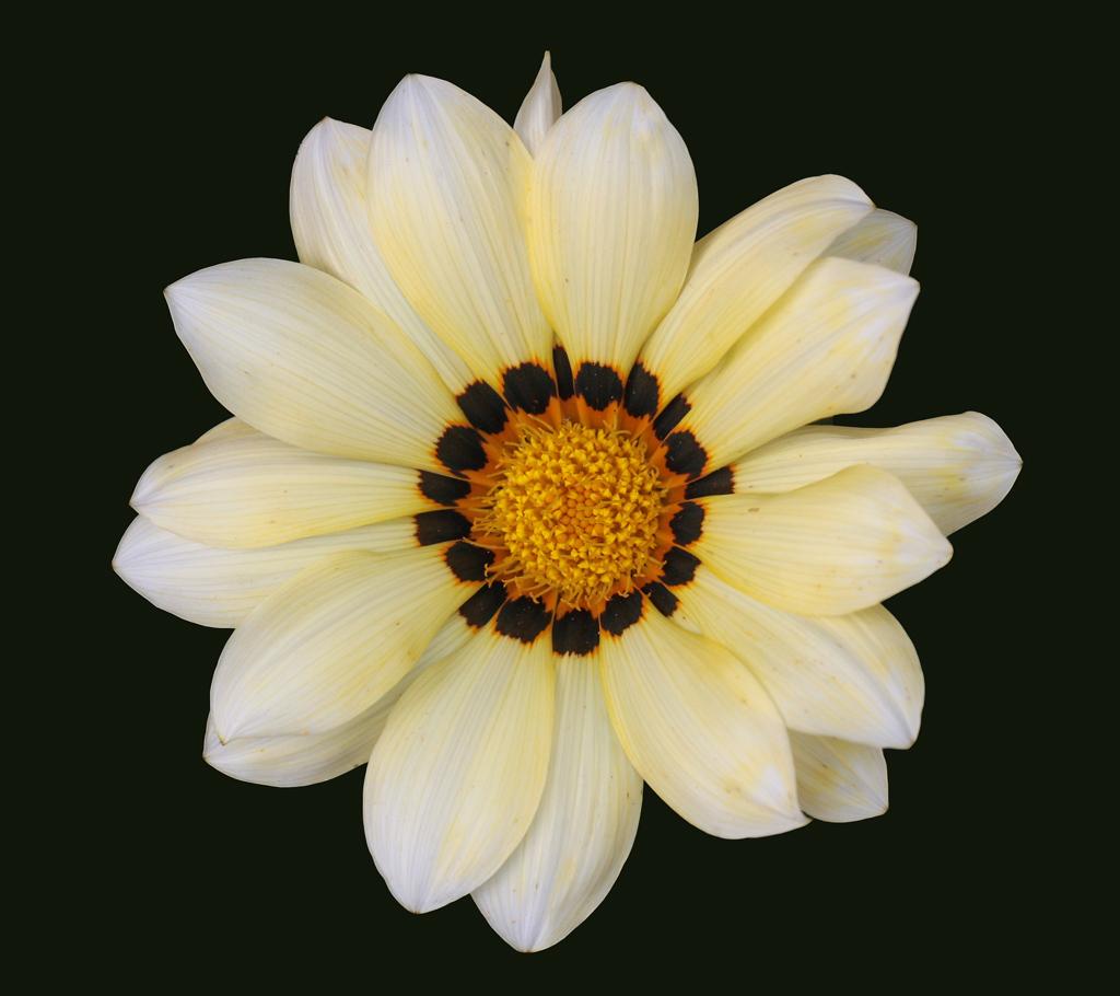 Gazanien-Blüte