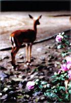 gazelle.rose