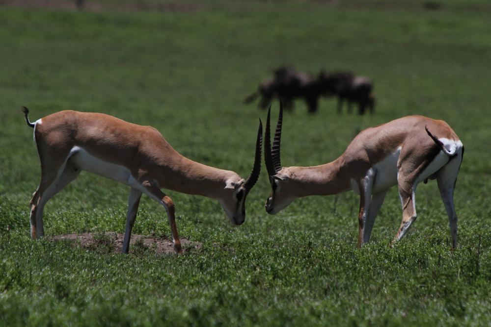 Gazelle's fight