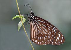 geändert:  Blauer Tiger (Tirumala limniace)