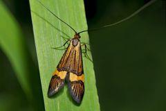 Gebänderte Langhornmotte (Nemophora degeerella, scopolii oder deceptoriella)* - La coquille d'or.