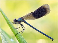 Gebaenderte Prachtlibelle - Calopteryx splendens