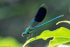 Gebänderte-Prachtlibelle (Calopteryx splendens)