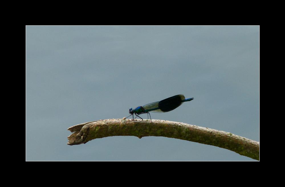 Gebänderte Prachtlibelle ~ Calopteryx splendens