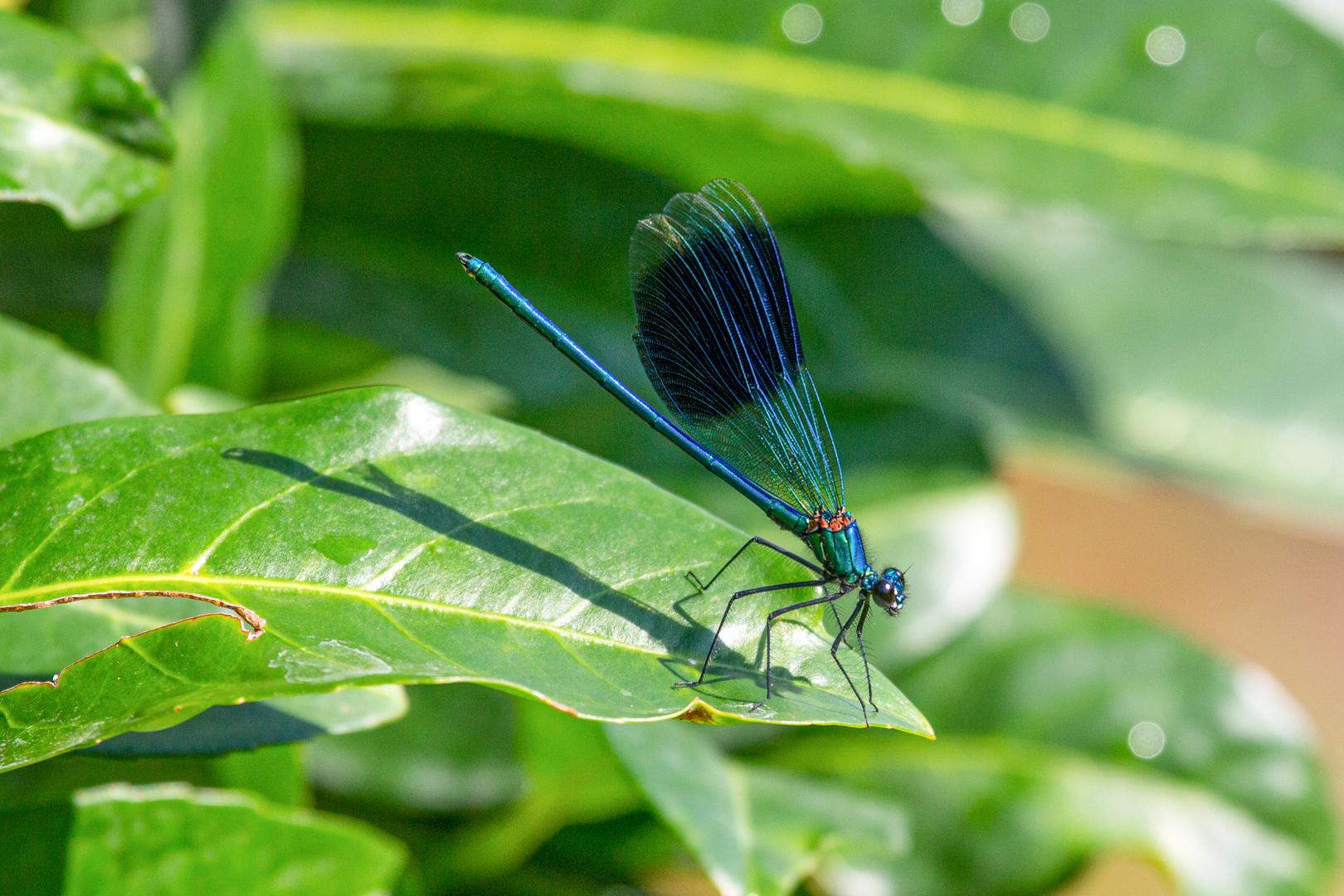 Gebänderte Prachtlibelle (Calopteryx splendens) (I)