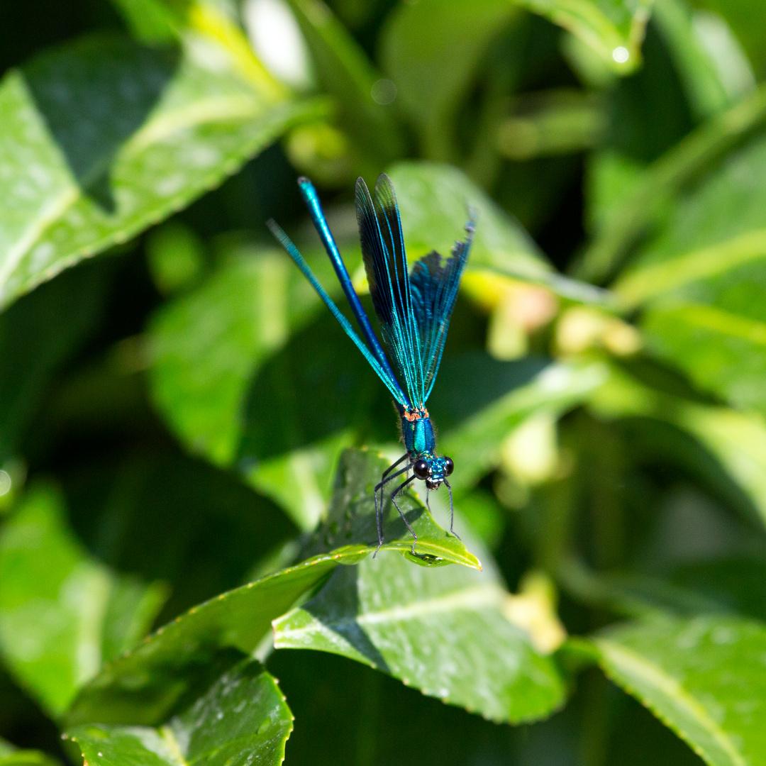 Gebänderte Prachtlibelle (Calopteryx splendens) (II)