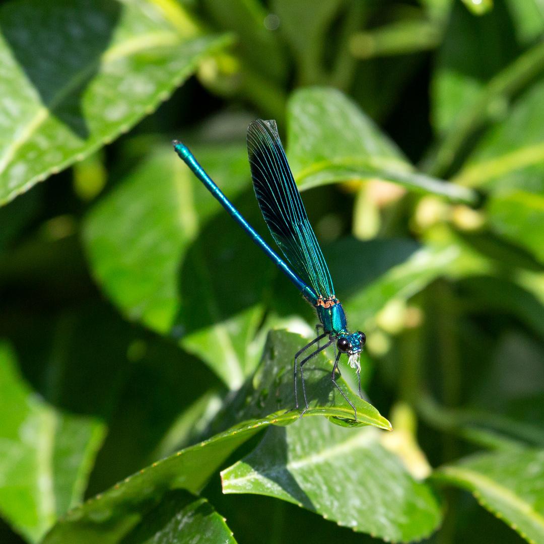 Gebänderte Prachtlibelle (Calopteryx splendens) (III)