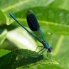 Gebänderte Prachtlibelle (Calopteryx splendens) (IV)
