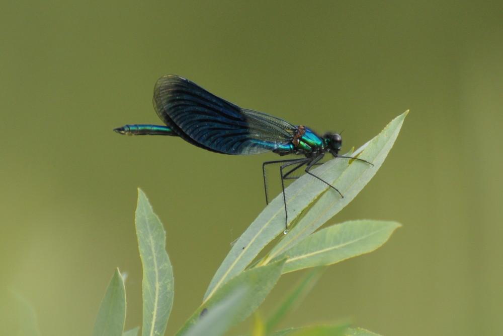 Gebänderte Prachtlibelle - Calopteryx splendens - Männchen 03