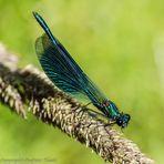 Gebänderte Prachtlibelle (Calopteryx splendens), Männchen