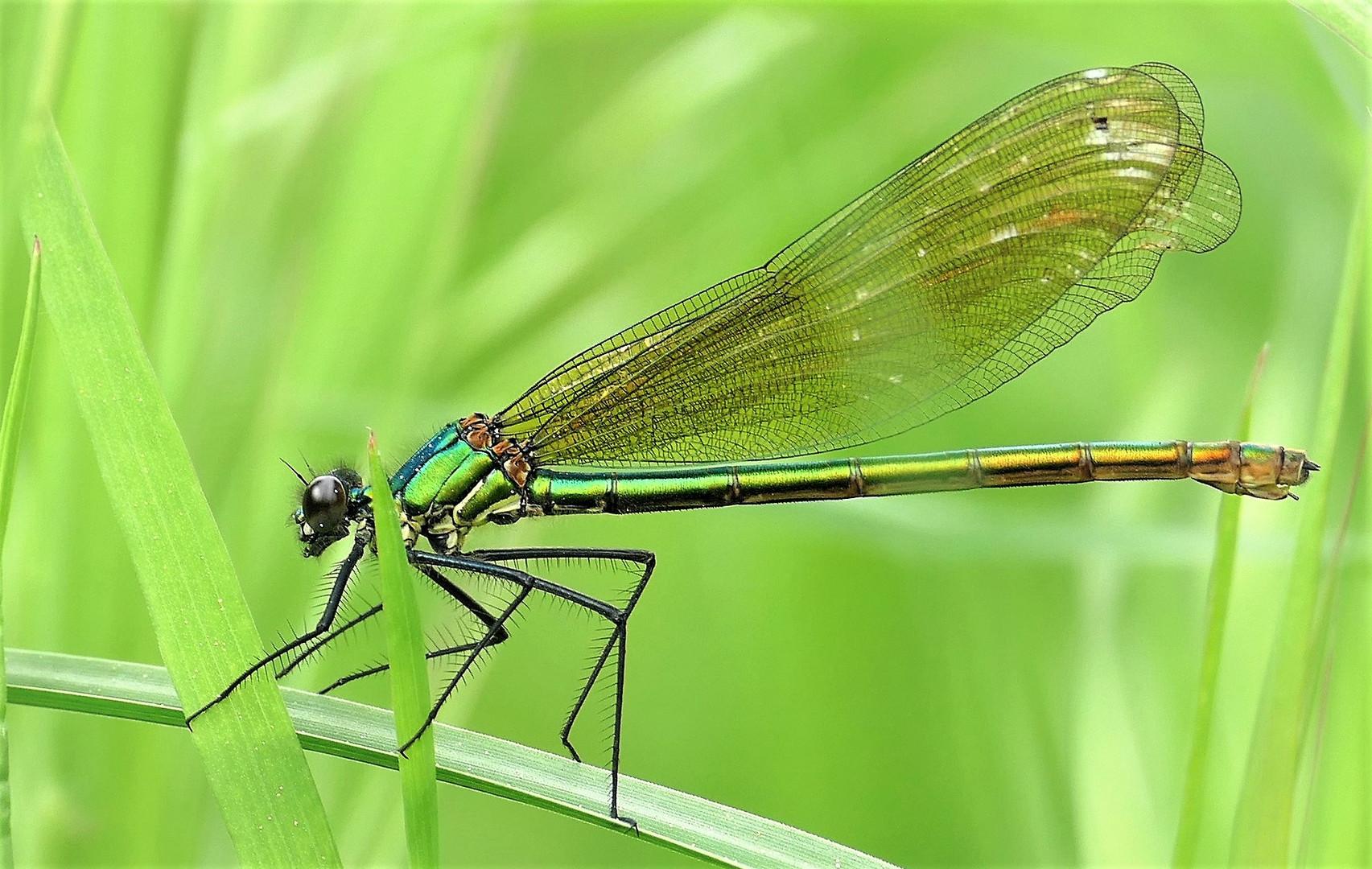 Gebänderte Prachtlibelle (Calopteryx splendens) ( w)