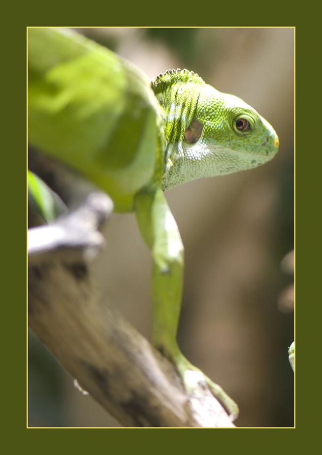Gebänderter Fidschi-Leguan