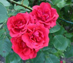 geballte Ladung Rosen