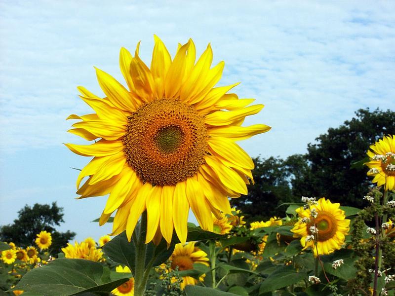 Geballte Sonnen(blumen)kraft