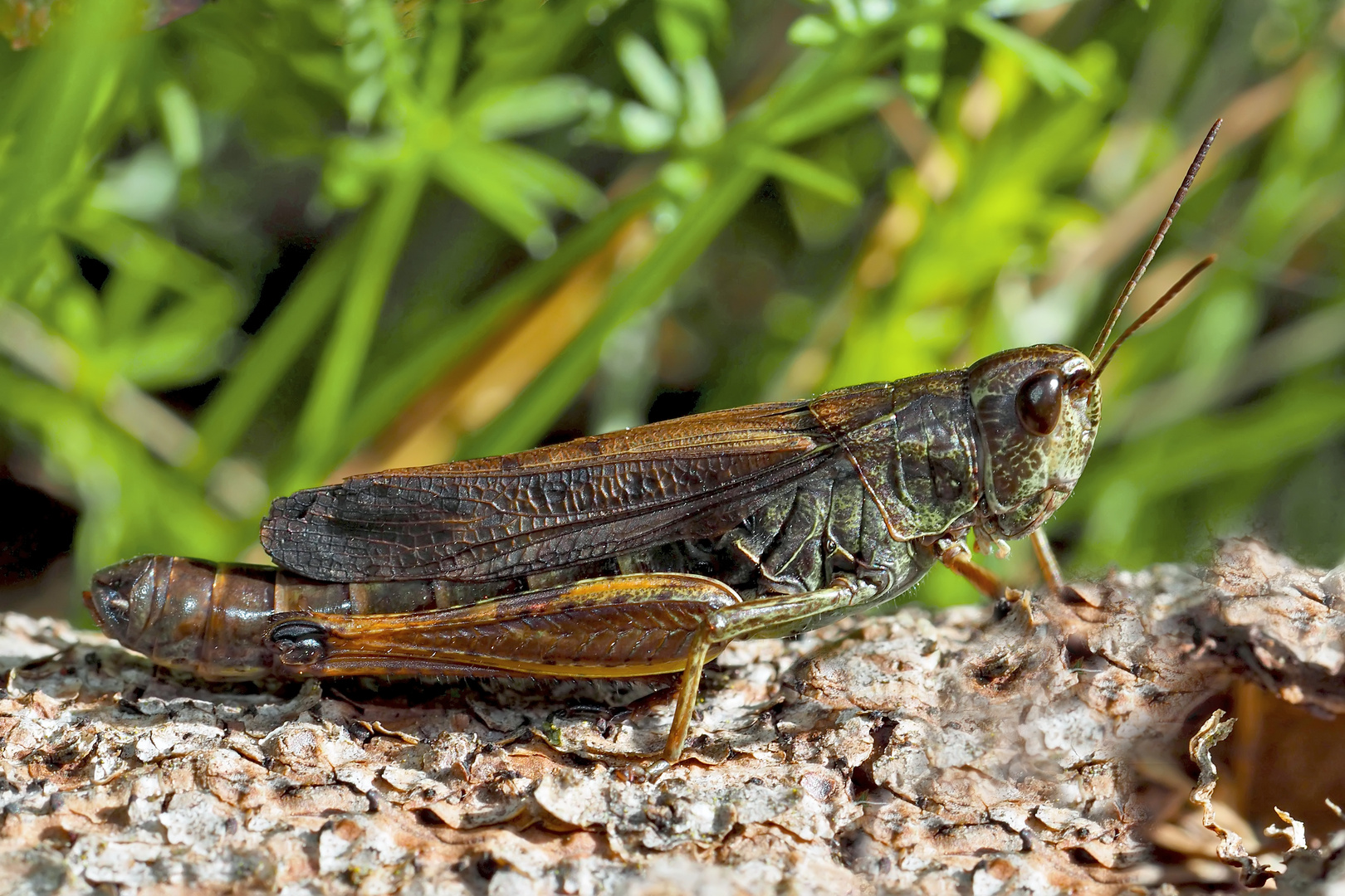 Gebirgsgrashüpfer, Weibchen (Stauroderus scalaris)* - Criquet jacasseur, une femelle.