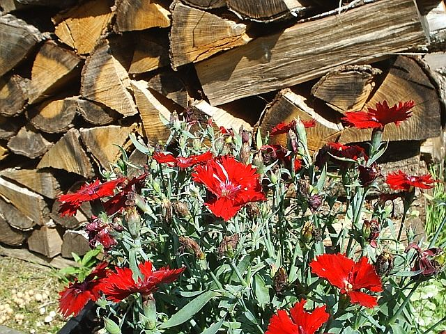 Gebirgsnelken vor Holzstapel