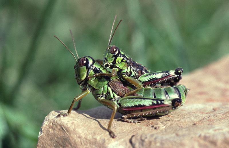 Gebirgsschreckenpärchen