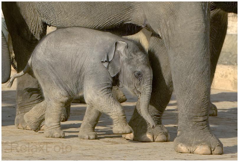 """""""Geborgenheit"""" - Elefantenbaby unter seiner Mutter"""