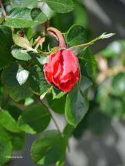 Geburt einer Rose