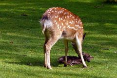 Geburt eines Hirschkalbes 3