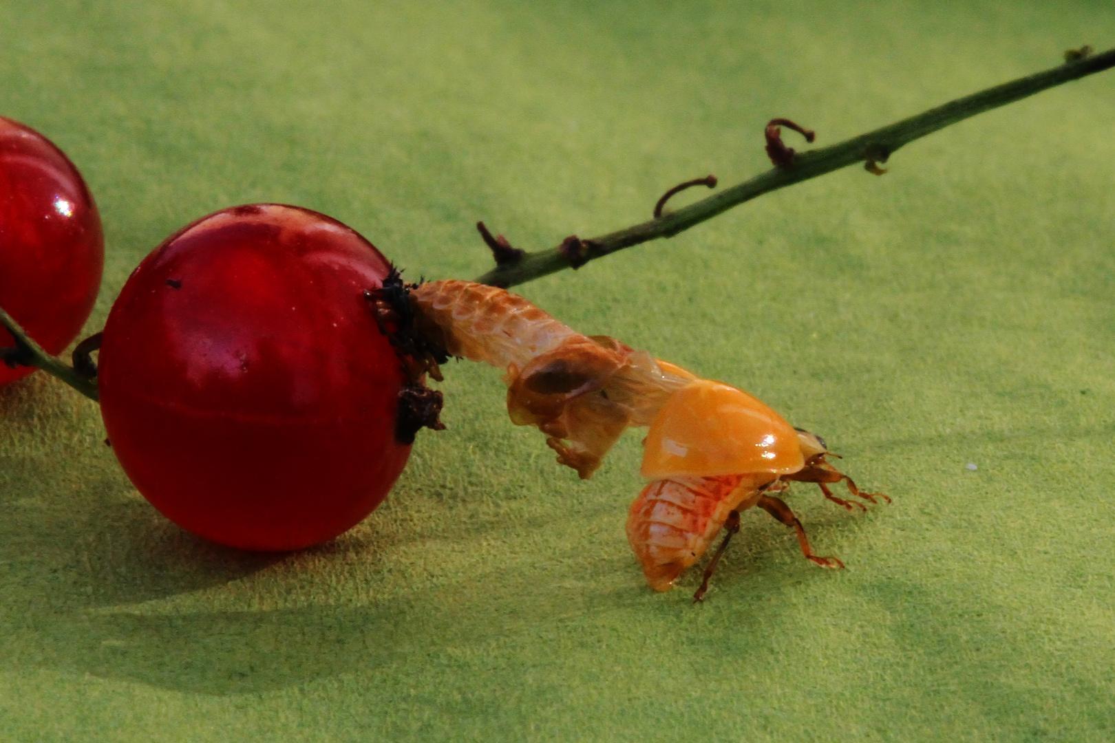 Geburt eines Marienkäfers (2)