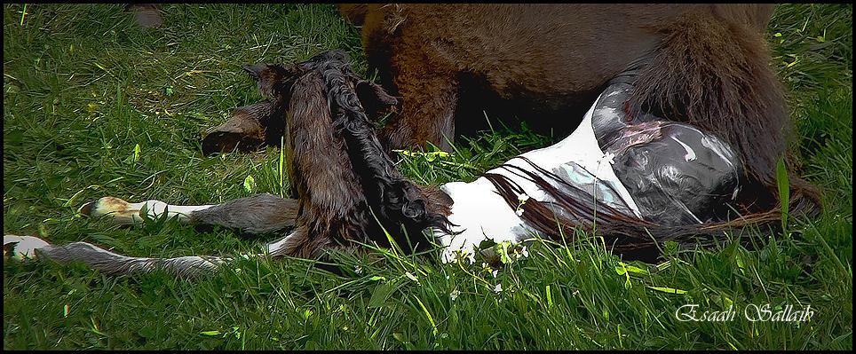 Geburtsreportage - Islandhengst Pegasus vom Grenifjall