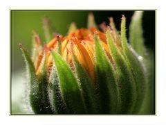 Geburtsstunde einer Ringelblume