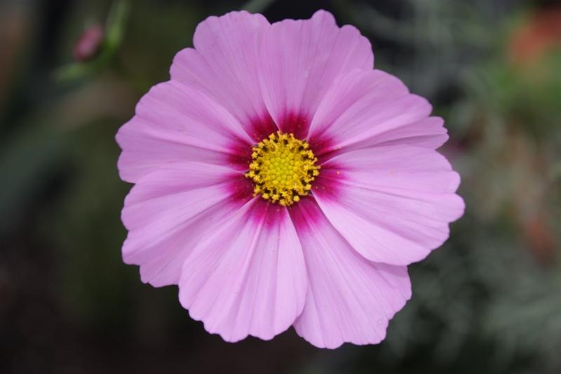 Geburtstags-Blume
