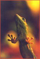 Gecko am Fenster