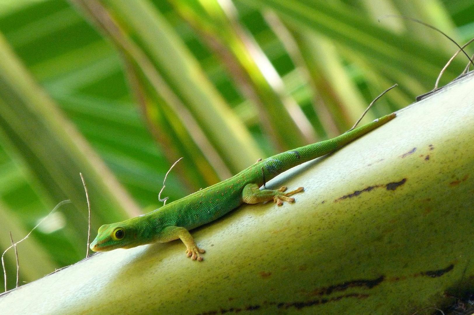 Gecko auf Kokospalme