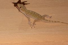 Gecko auf Nahrungsfang