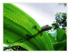 Gecko auf nassem Blatt