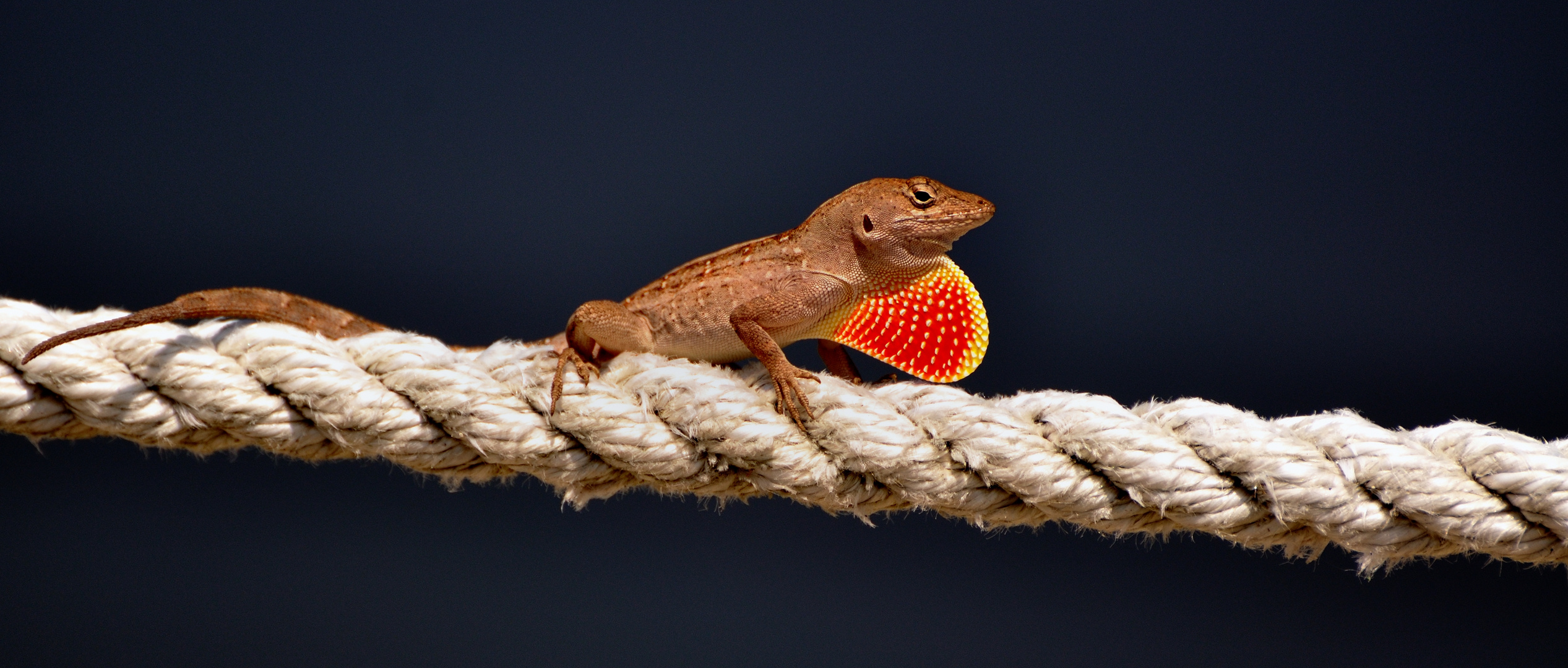 Gecko (Bahamaanolis (Anolis sagrei) auf Senibal Island