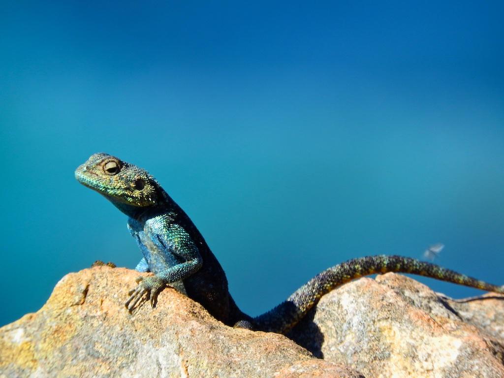 Gecko beim Sonnenbad