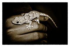 gecko weibchen
