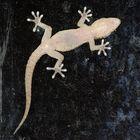 Gecko_am_Fenster
