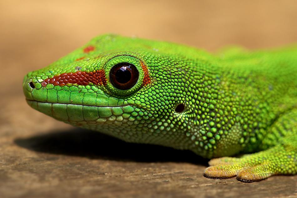 Geckoportrait