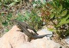 Geckos auf Mallorca