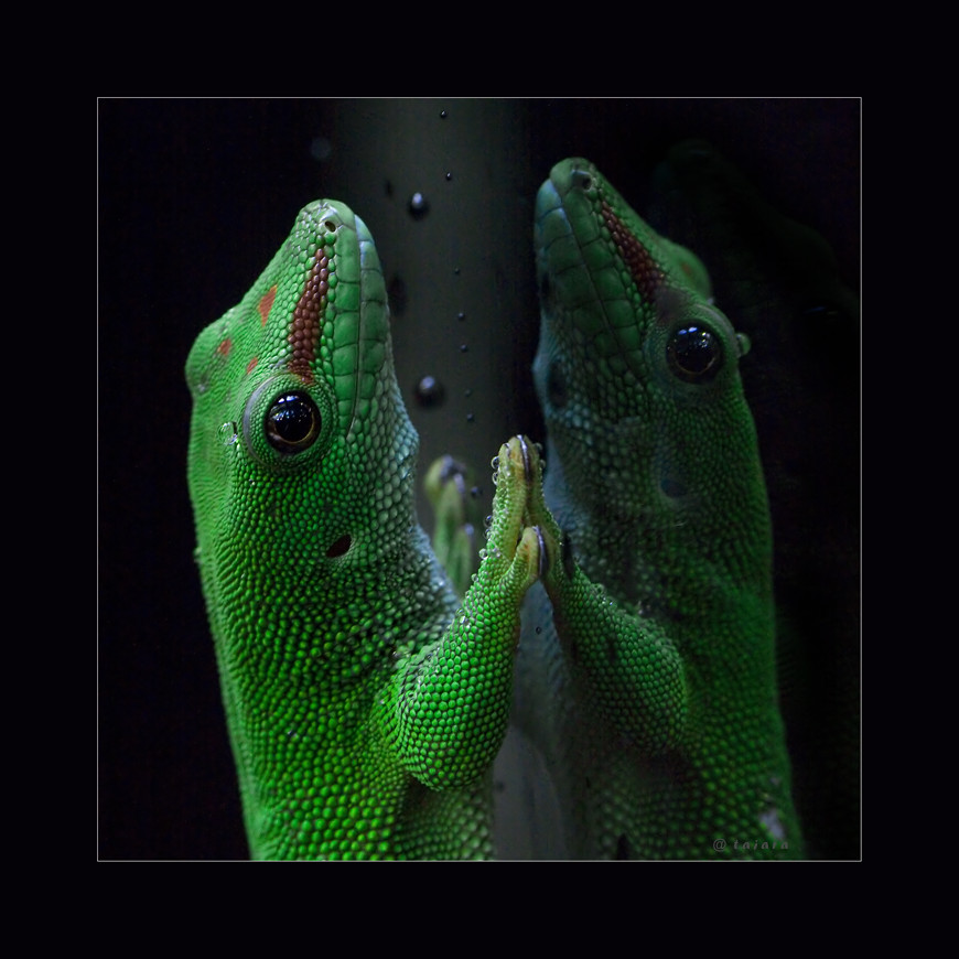 """""""geckosche"""" eitelkeit"""