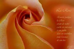 Gedicht einer Rose