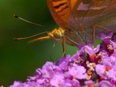 Geduldiger Schmetterling