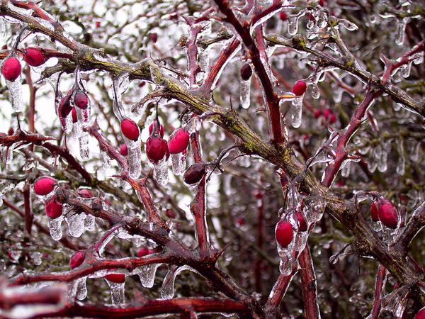 geeiste hagebutte foto bild pflanzen pilze flechten pflanzen im winter natur bilder auf. Black Bedroom Furniture Sets. Home Design Ideas