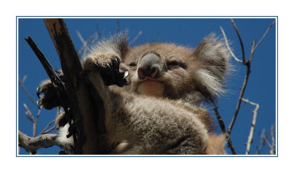 Gefährlicher Koala ;-)