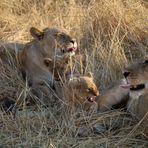 gefährlicher Löwe