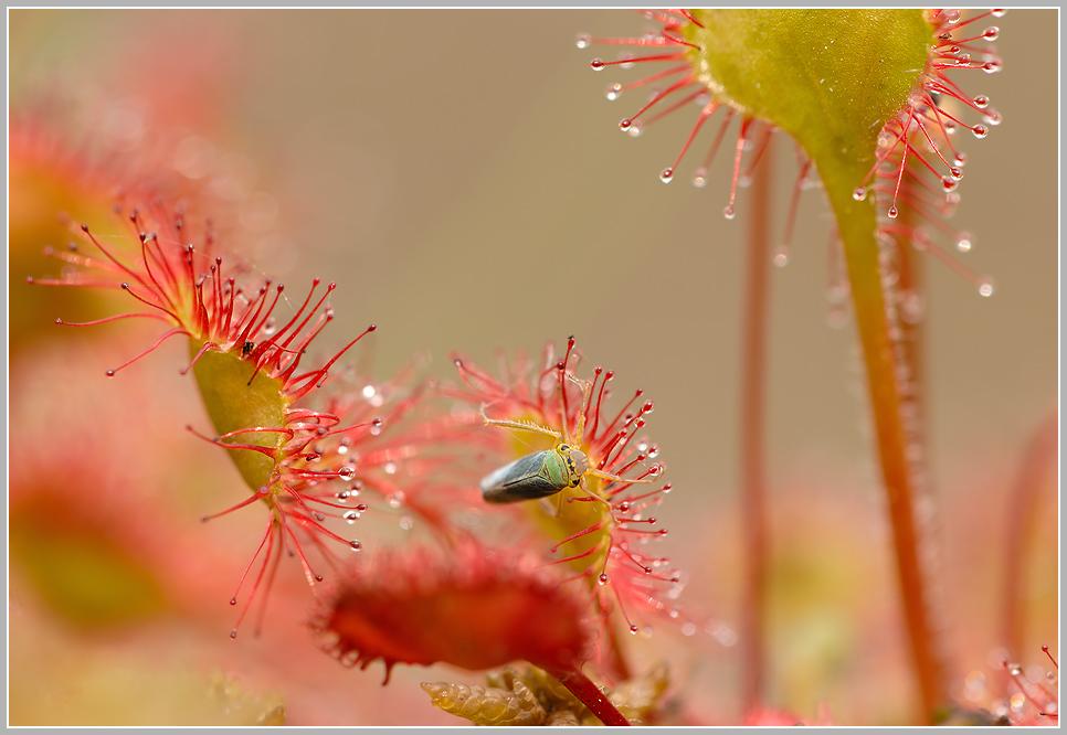Gefahr droht der Zikade am Rundblättrigen Sonnentau (Drosera rotundifolia)