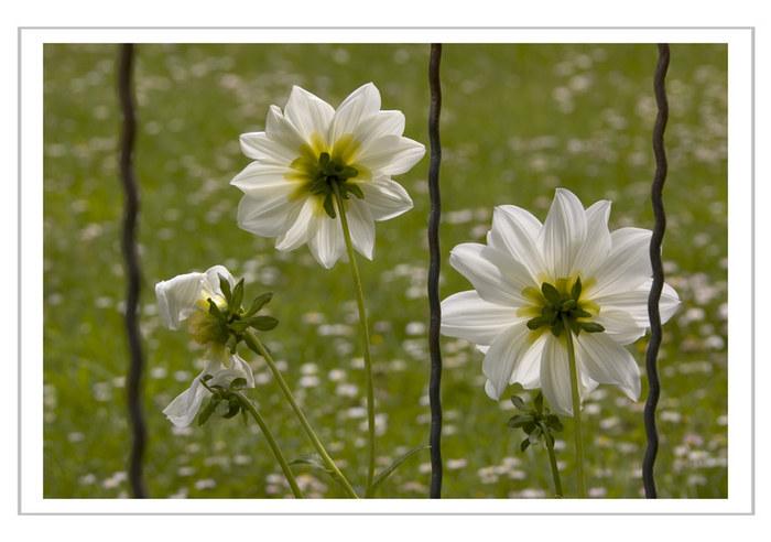 Gefangene Blumen...