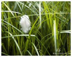 gefiedertes Gras